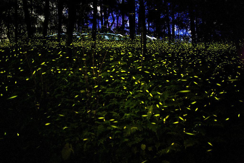 Incre ble as es el santuario de las luci rnagas en Espectaculo de luciernagas en tlaxcala