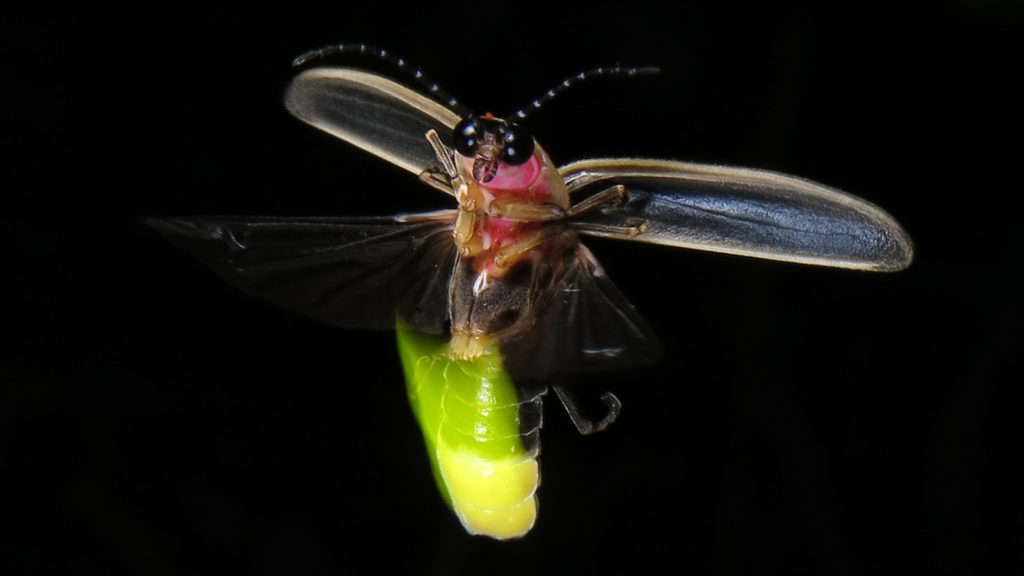 Firefly Habitat Fireflies live in various habitats Many species thrive in forests fields or the margins between them Some live in more arid areas but they